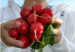 Կարմիր բողկը՝ հզոր դեղամիջոցների հսկա պահեստ